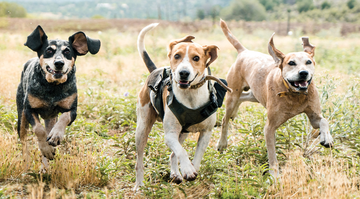 Three hunting dogs running