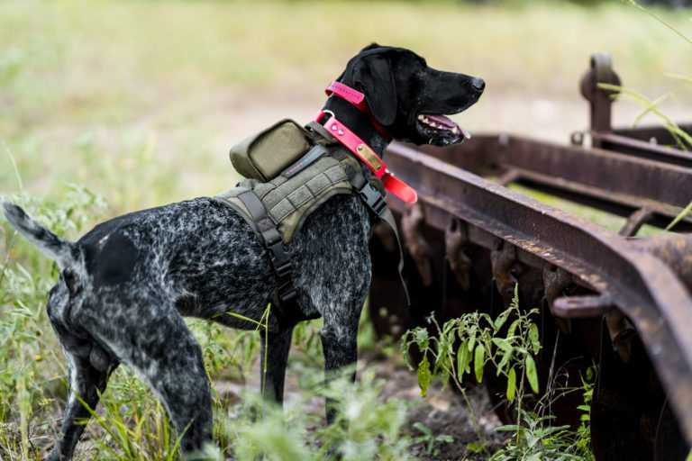 Hunting dog wearing SafeShoot Harness